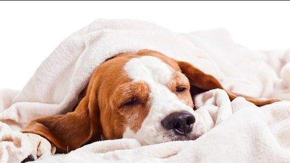Ein, in eine Decke gehüllter, Hund