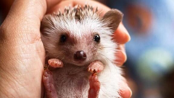 Kleiner Igel in einer Hand.