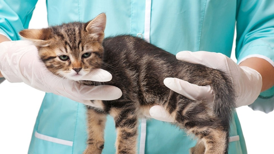 Tolle Katze äußere Anatomie Fotos - Menschliche Anatomie Bilder ...