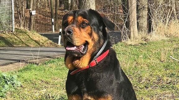 Ein schwarz-brauner Hund (Ronny) sitzt auf einer Wiese.