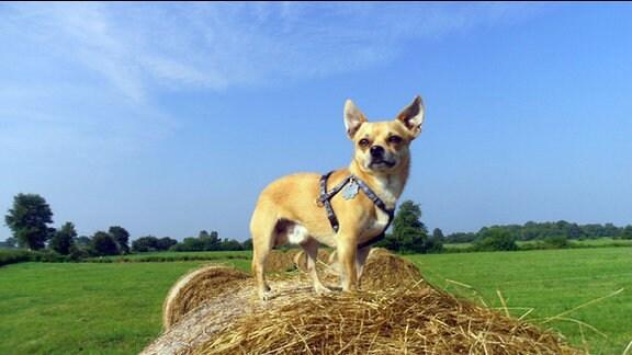 Hund Prince steht auf einen Strohballen und hält Ausschau