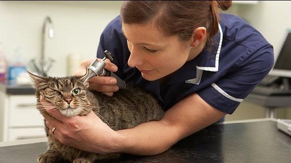 Eine Tierärztin untersucht das Ohr einer Katze