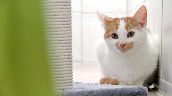 Ein weiß rötliches Katzenkind schaut neugierig.