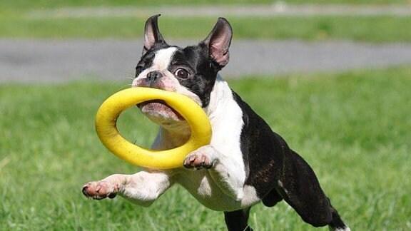 Boston Terrier mit Reifen im Maul
