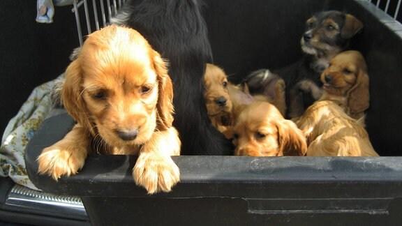 Hundewelpen in einem engen Käfig im Kofferraum eines Autos