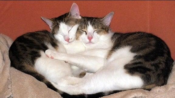 Zwei Katzen kuscheln miteinander auf einer Decke