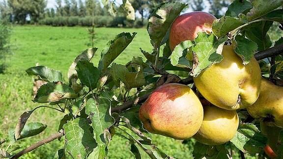 Äpfel hängen an einem Baum.