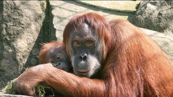Orang Utan-Mutter mit Baby