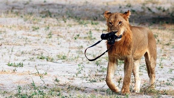 Ein Löwe hat eine Kamera geklaut