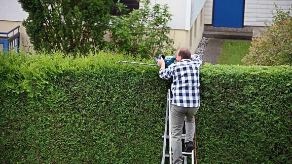 Ein Mann steht auf einer Leiter und schneidet mit einer Heckenschere ein Hecke