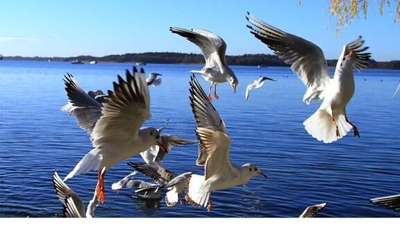 Möven fliegen aufgeregt über den See.