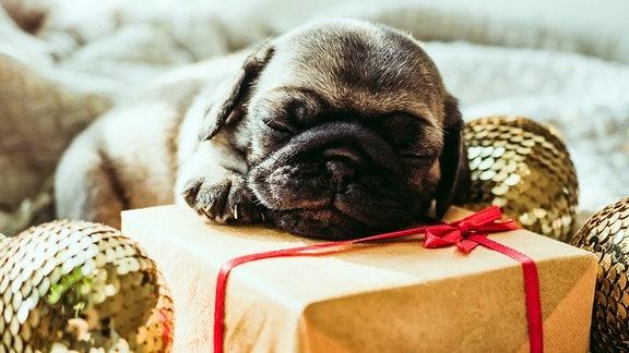 Ein Mops (Hund) liegt schlafend auf einem Geschenk