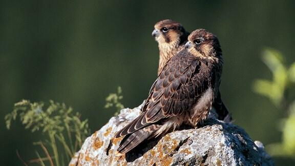 Zwei junge aus dem Nest ausgeflogene Wanderfalken warten auf einer Felsnase auf Futter.