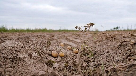 Trockener Kartoffel-Acker  (einzelne Kartoffeln liegen auf trockenem Boden)