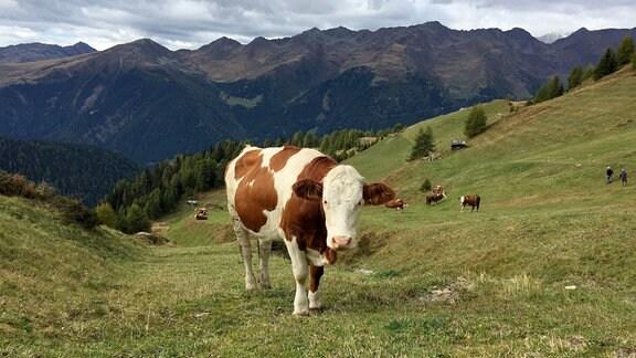 Kühe auf der Kasermähder Alm in Südtirol.