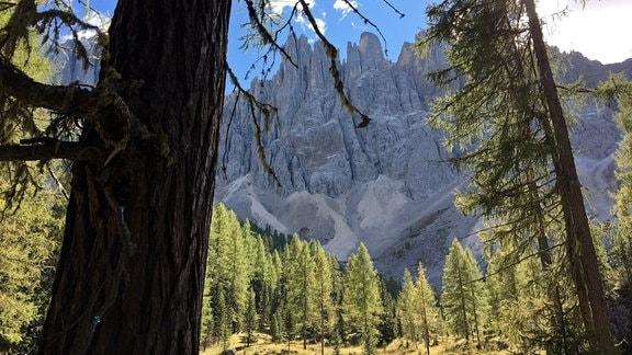 Nadelbaumwald mit Blick auf ein Hochgebirge