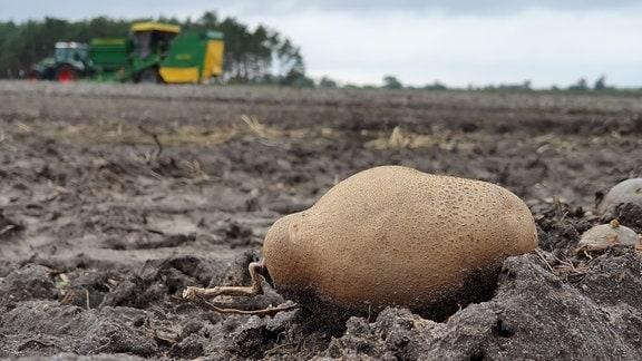 Auf einer Fläche von 90 Hektar hat Landwirt Jens Köpke dieses Jahr Kartoffeln angebaut. Jetzt wird gerodet. Die Kartoffeln gehen als Speisekartoffeln in den Handel oder werden zu Stärke verarbeitet . Der sandige Boden passt ganz gut. Nur ums Bewässern kommt der Bauer nicht herum.