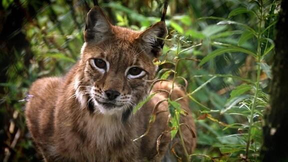 Eine Wildkatze schaut in die Kamera