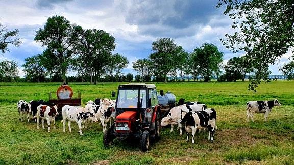 Die Jung-Kühe sind erst wenige Wochen allein auf der Weide. Ganz schön scheu sind sie noch. Das gibt sich aber bald. Den ganzen Sommer werden sie draußen verbringen, kommen erst zurück in den Stall, wenn sie ihr erstes Kalb zur Welt bringen.