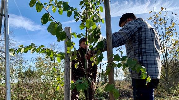 Am Dorfrand haben Wühlmäuse oder Wild einen Baum zunichte gemacht haben, deswegen muss ein neuer gepflanzt werden. Eine Saalweide. Deren Rinde wurde der Acetylsäure wegen früher als Heilmittel genutzt.