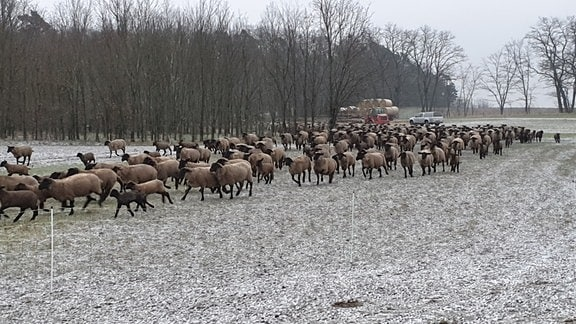 Tag für Tag das gleiche Spiel. Früh am Morgen dürfen die Schafe von einer Koppel zur nächsten.