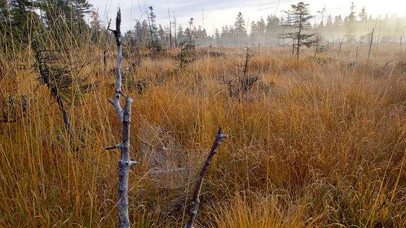 Das Sonnenmoor am Bruchberg: Ein dicht mit orangebraunem Gras bewachsenes Moor, im Hintergrund Nadelbäume und Nebelschwaden.