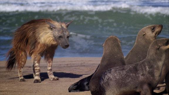 Ein wolf am Strand nährt sich einer Gruppe Robben