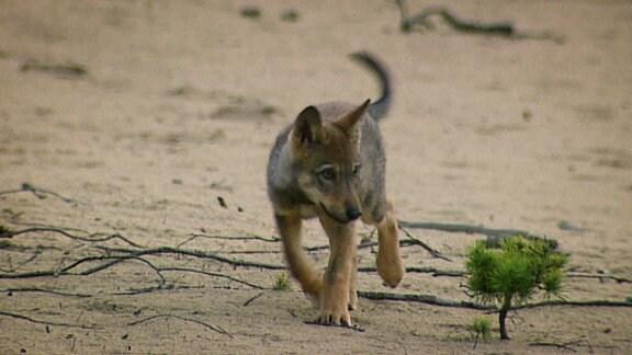 Ein Jungwolf, unterwegs auf sandigem Boden