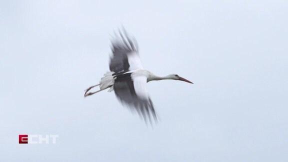 Ein Storch.