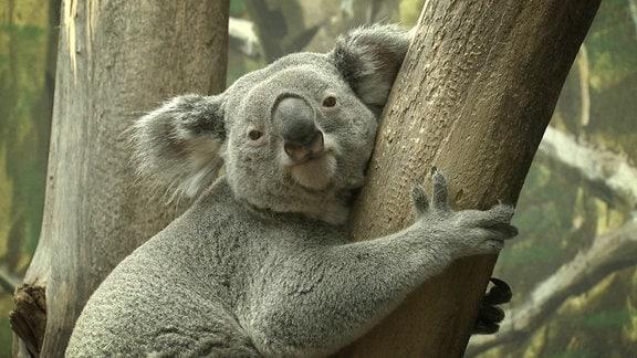Ein Koala im Baum