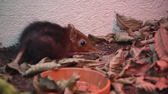 Eine Maus mit langer Nase