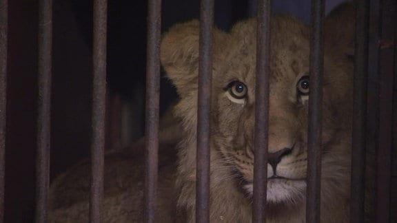 Löwe hinter Gittern