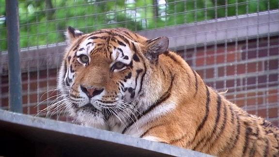 Tigerweibchen Bella