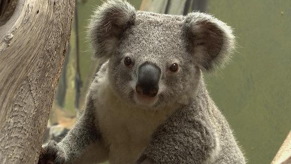 Ein Koala.