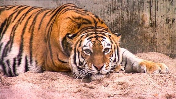 Ein Tiger.