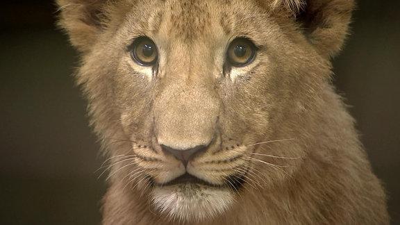 Ein Löwe.