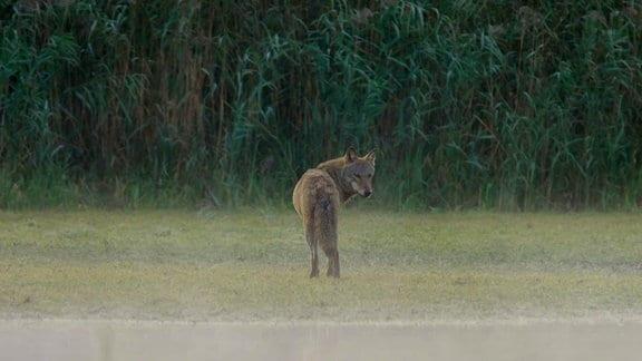 Ein einsamer Wolf am waldrand