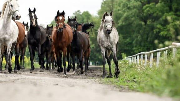 Galoppierende Pferde.
