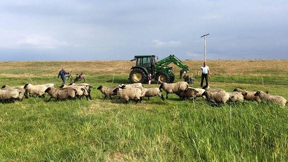 Landschaft auf Hiddensee mit Schafen
