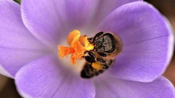 Eine Biene sammelt Nektar und Pollen in einer Blüte..