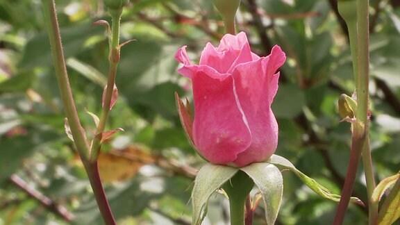 Eine Rose.