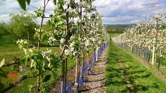 Obstplantage am Süßen See im Mansfelder Land