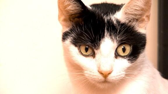 Schwarz-weiße Katze schaut in die Kamera.
