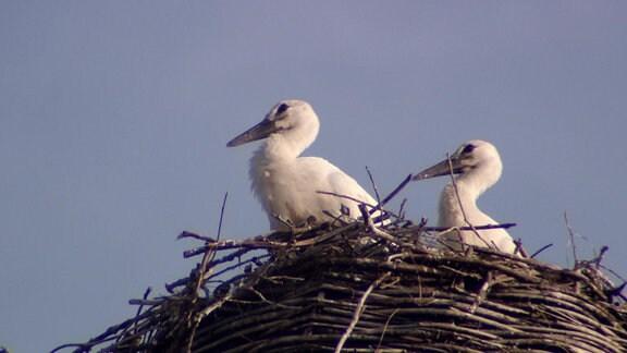 Jungstörche im Nest