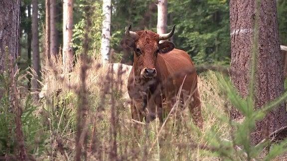 Ein Auerochse in der Uhlstädter Heide.