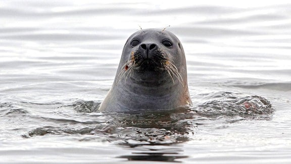 Ein Seehund schaut aus dem Wasser.