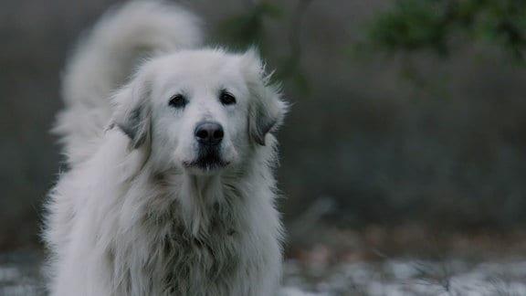 Ein Herdenhund