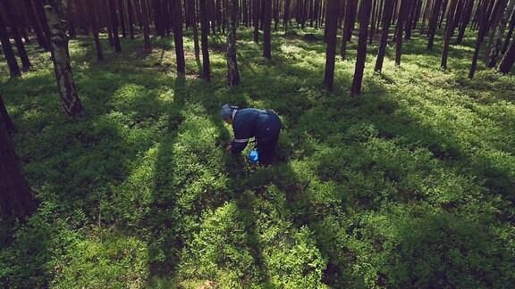 Edith Penk pflückt Blaubeeren in der Muskauer Heide.