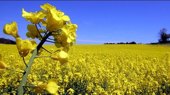 Blick auf ein gelb blühendes Rapsfeld