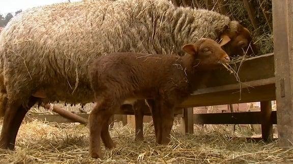 Ein Lamm mit seiner Mutter beim fressen.